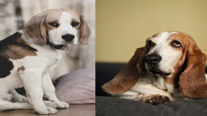 Read more about the article Comparison Basset Hound Puppy VS Beagle