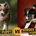 The Comprehensive Collie VS Border Collie Puppy Comparison