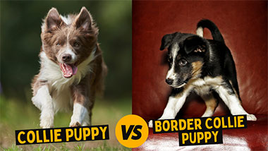 You are currently viewing The Comprehensive Collie VS Border Collie Puppy Comparison