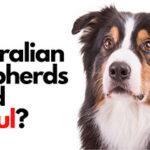 Do Australian Shepherds Shed Awful? (Aussie Shedding)