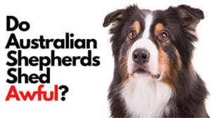 Read more about the article Do Australian Shepherds Shed Awful? (Aussie Shedding)
