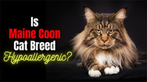 Read more about the article Is a Maine Coon Cat Hypoallergenic? Healthy and Proven Grooming Tips