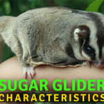 The Most Exciting Sugar Glider Characteristics