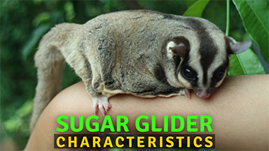 You are currently viewing The Most Exciting Sugar Glider Characteristics