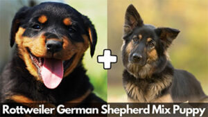 Read more about the article Everything About Rottweiler German Shepherd Mix Puppy