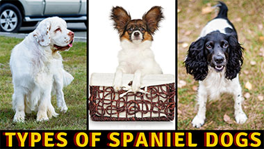 You are currently viewing The Most Popular Types Of Spaniel Dogs Breeds