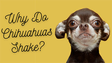 You are currently viewing Discover The Odd Truth Why Do Chihuahuas Shake