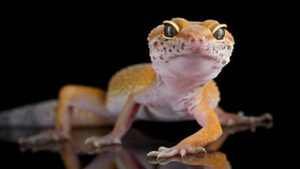 Read more about the article Why Leopard Geckos are the Best Lizard for Beginners?