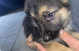 no name, German Shepherd