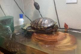 george and shelly, Turtle