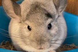 Mosaic Chinchilla Brothers, Chinchilla
