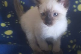 CFA  Registered Siamese Kittens , Cats and Kittens