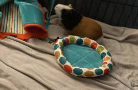 bugsy, panda, and bruni , Guinea Pig