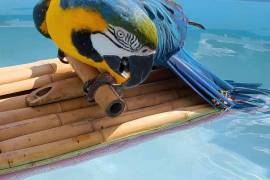 Marco, Blue and Gold Macaw