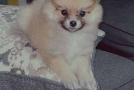 ONLY 3 LEFT (PURE BREED), Pomeranian