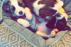 3 female puppy mix , Mixed Breed