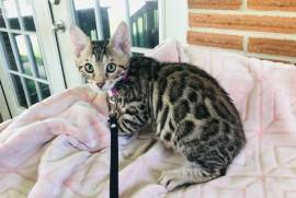F2 Bengal Male Kittens- Great , Bengal