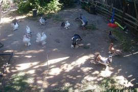 Fan Tail Pigeons and more, Other Birds