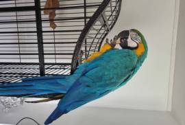 Blue And Gold Macaws For A Lov, Macaw