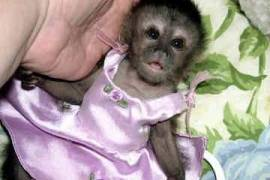 Baby Capuchin Monkeys for sale, Other Animals