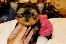 Purebred Yorkie Pups Ready, Yorkshire Terrier