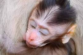 Adorable capuchin monkey infan, Other Animals