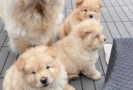 CHOW CHOW PUPPIES, Chow Chow