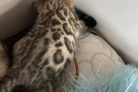 2 Bengal Kittens for sale, Bengal