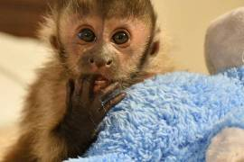 Adorable capuchin for sale , Other Animals