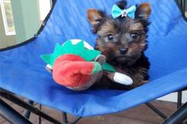 Cute Yorkie puppies with lovel, Yorkshire Terrier