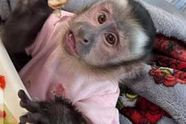Gorgeous capuchins available , Other Animals