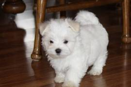 Awesome T-Cup Maltese Puppies , Maltese