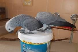 Male and Female African Grey, African Grey