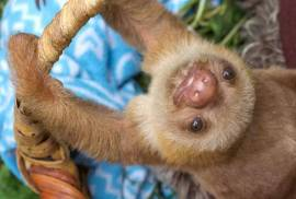Hand Raised Sloth For Rehoming, Other Animals