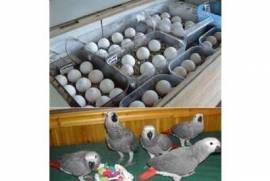 Parrots  and fertile eggs, Other Birds