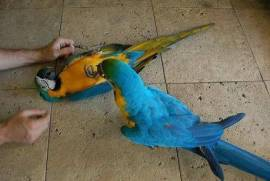 Awesome Pair Blue & Gold M, Macaw