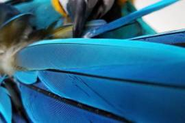Very Tame Blue and gold Macaw , Blue and Gold Macaw