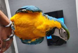 Macaw Blue and Gold , Blue and Gold Macaw