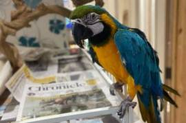 Handraised Blue and Gold Macaw, Blue and Gold Macaw