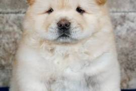 Cute Chow Chow puppies , Chow Chow