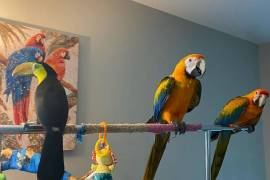 Catalina and Tucan parrots , Blue and Gold Macaw