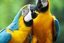 Blue and Gold Macaw, Blue and Gold Macaw