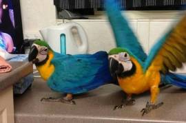 Bonded Pair Blue & Gold Ma, Macaw