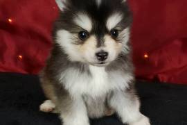 Pomsky puppies , Other Animals