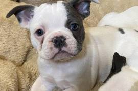 Bekko, French Bulldog