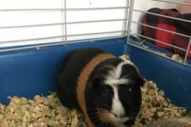 Penny and  Peanut, Guinea Pig