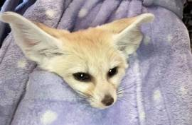 michie and melo, Fennec Fox