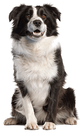 Border Collies Dog Breed