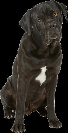 Cane Corso Dog