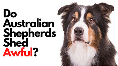 Do Australian Shepherds Shed Awful